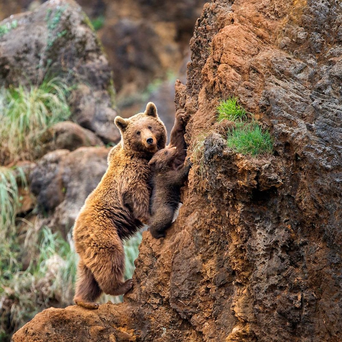 00 Marina Cano. Mama and Cub. Learning to Climb.  15.05.15
